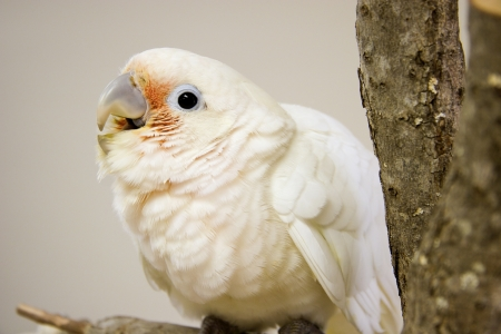 Baby Goffin Cockatoo
