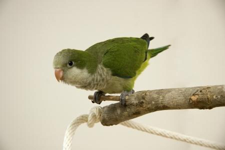 quaker: Quaker Parrot Perched