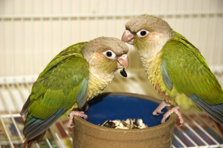 Green Cheek Conures Eating Their Food