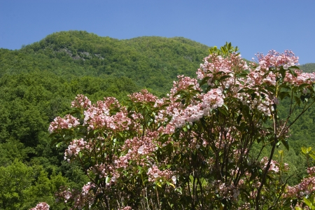 laurel mountain: Pink Mountain Laurel in Bloom