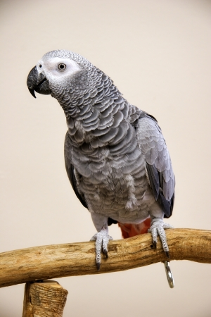 African Grey Parrot Perched Stock Photo