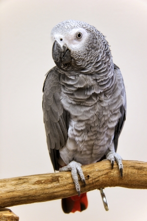 african grey parrot: African Grey Parrot Perched Stock Photo