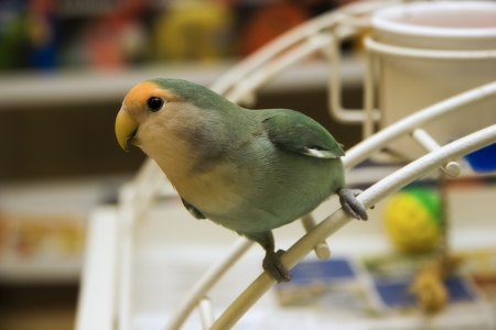 agapornis: Cute Little Lovebird