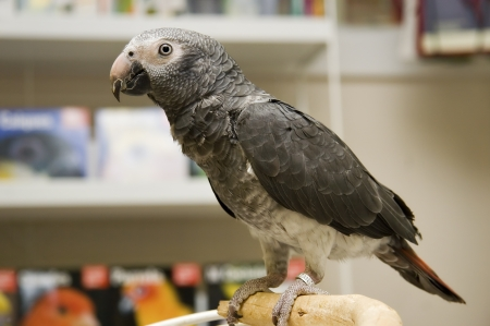 African Grey Parrot Perched on a Play Gym photo