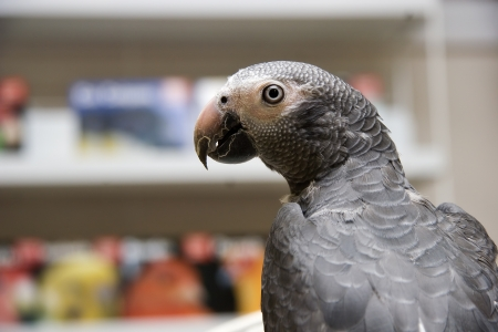 greys: African Grey Parrot Side View