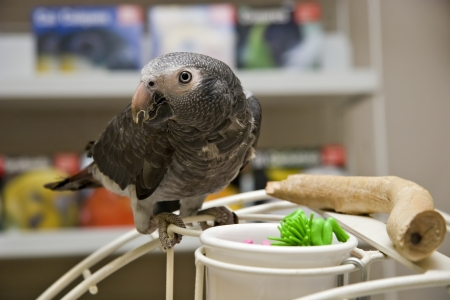 greys: African Grey Parrot Perched Stock Photo