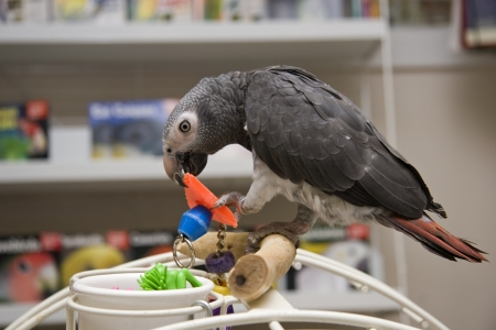 greys: African Grey Parrot Perched in a Pet Store Stock Photo