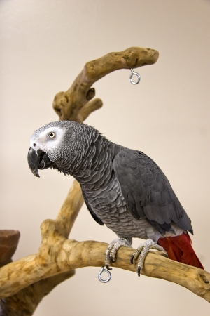 Congo African Grey photo