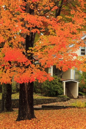Maple Tree in the Fall photo