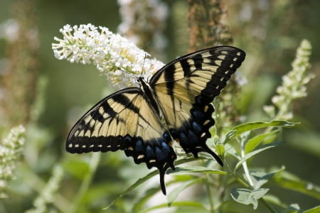 swallowtails: Swallowtail on White Butterfly Bush