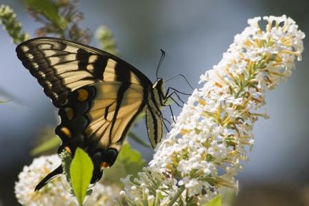 swallowtails: Butterfly on Butterfly Bush