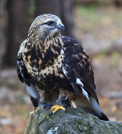 legged: Rough Legged Hawk Stock Photo