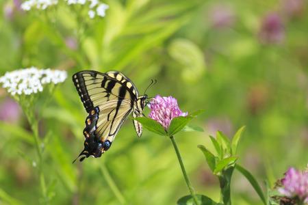 swallowtails: Swallowtail Butterfly Feeding on Purple Clover