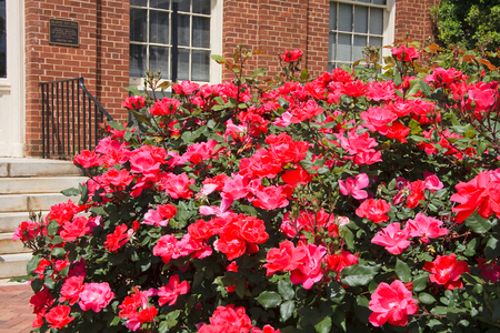 knock out: Knock Out Roses