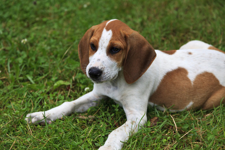 hound: Cute Hound Dog Puppy Stock Photo