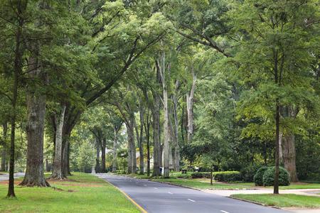 hojas de arbol: Queens Road West en el parque de Myers en el verano con altos robles sauce
