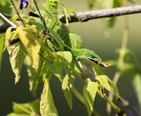 prey: Lizard Eating Prey