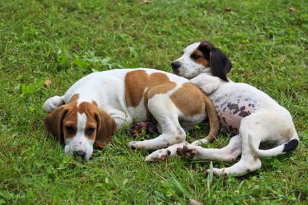 hound dog: Hound Dog Puppies Laying in the Yard Stock Photo