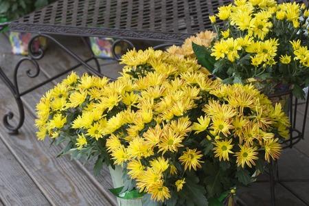 yellow: Yellow Mums
