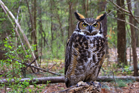 Great Horned Owl Standing on a Tree Log