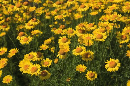 Flowerbed of Yellow Daisies in the Summertime Foto de archivo - 133531472