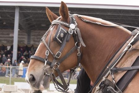 Belgian Horse in Show Harness 免版税图像