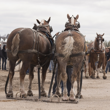 2 Belgian Horses waiting their turn at a horse pull