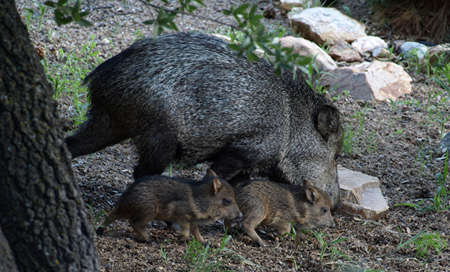 Javelina mother and her two babies