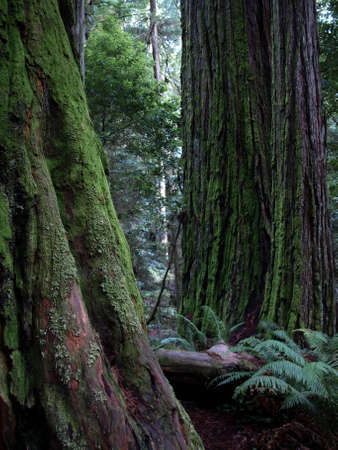 Close up of mossy redwood trees bark and trunks along a park trail photo