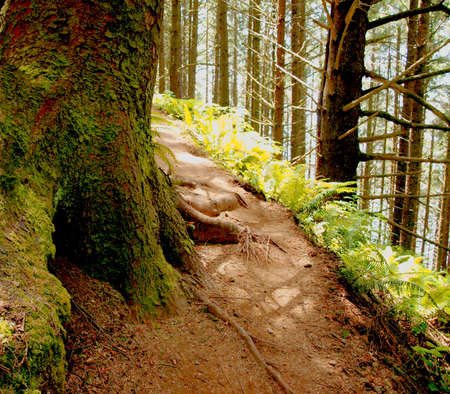 Close up of mossy redwood tree bark and roots, path through the forest photo