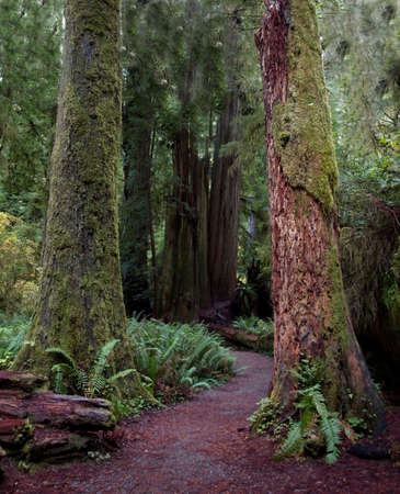 huge tree: Path through a pair of colorful mossy redwood tree trunks Stock Photo