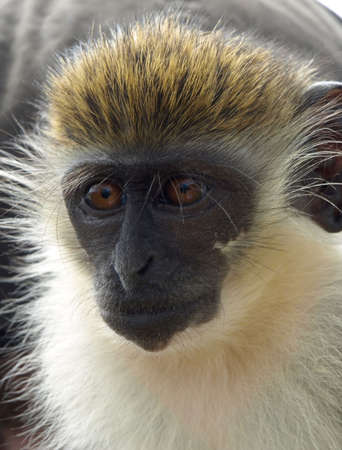 Close-up of playful green vervet monkey in St. Kitts