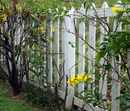 A white painted wooden picket fence and yellow flowering vine Stock Photo - 4589261