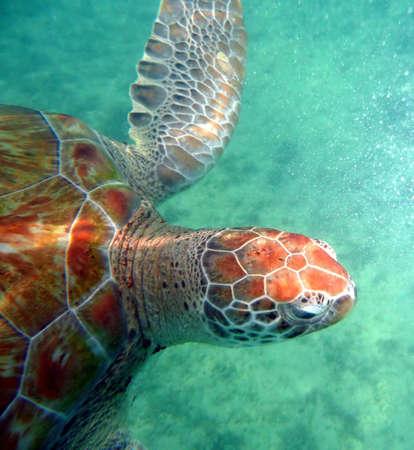 Sea turtle in the open ocean swimming through clear water Reklamní fotografie