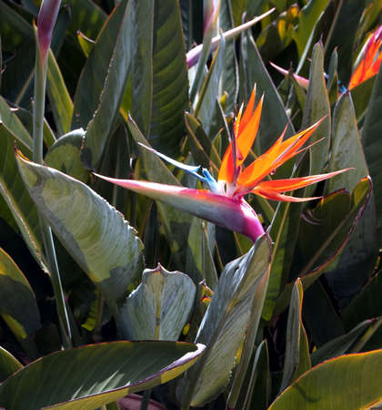 bloom bird of paradise: Close-up of bird of paradise in bloom Stock Photo