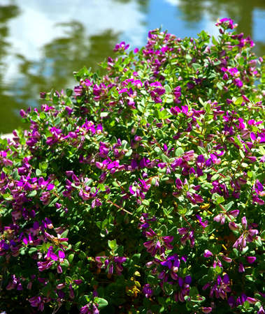 A colorful bush with purple flowers