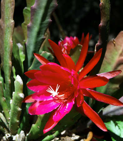 A colorful red cactus flower in bloom