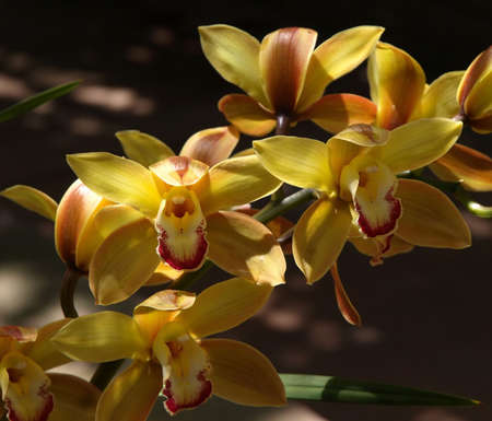 A colorful close-up of yellow orchid flowers Reklamní fotografie