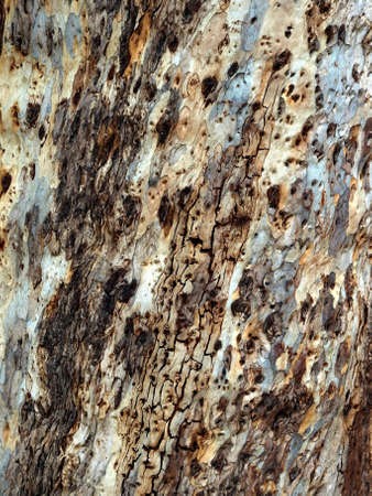Close-up pattern of eucalyptus tree bark