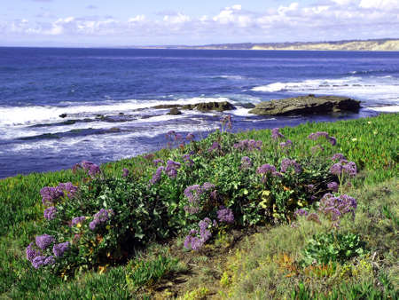 Hillside of lilac flowers along the Pacific coast