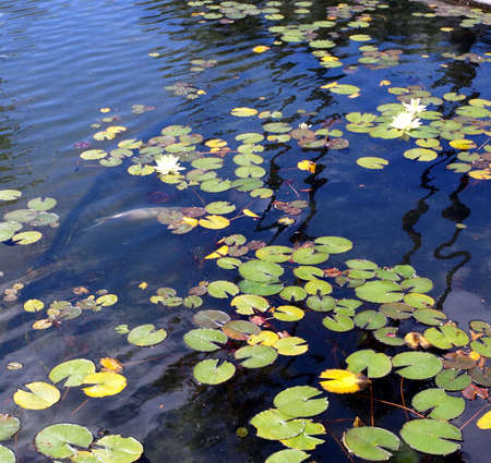 Koi and lily pond with floating plants and fish and rippled surface