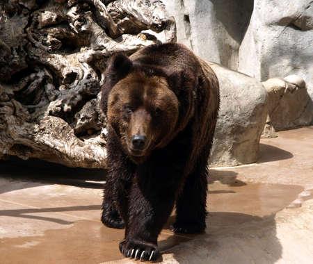 Full grown brown bear Reklamní fotografie