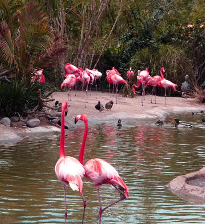 Group of colorful flamingos in pond