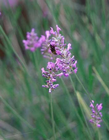 Close-up of a bee lighting on lilac flowers Reklamní fotografie