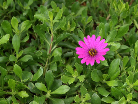 A single purple daisy in bloom with lush green foliage
