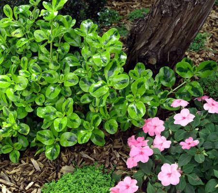 Green waxleaf bush and pink pansies in bloom