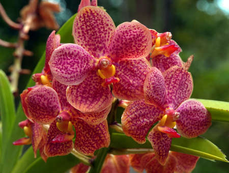 A group of pink ornamental variegated orchids