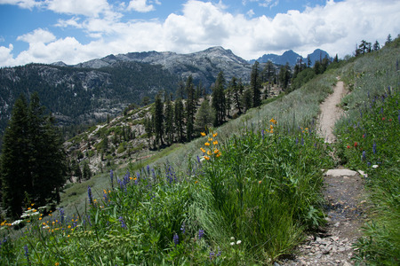 Wildflowers on the Pacific Crest Trail in the Sierra Nevada Mountains Imagens