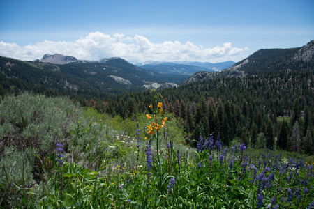 sierras: Wildflowers on the Pacific Crest Trail in the Sierra Nevada Mountains Stock Photo