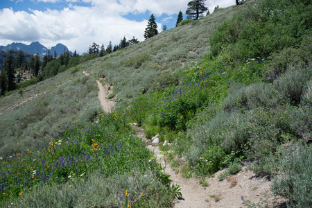 Wildflowers on the Pacific Crest Trail in the Sierra Nevada Mountains Stock Photo